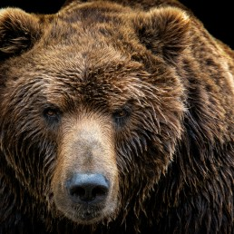 Front view of brown bear isolated on black background.
